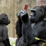 gorilla_con_nintendo_ds_1