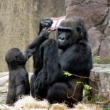 gorilla_con_nintendo_ds_3